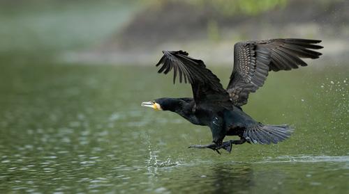 pt-kormoran