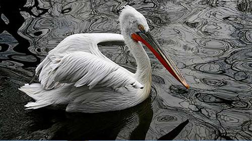 pt-pelikan